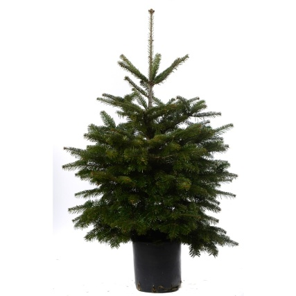 Pot Grown Nordman Fir Real Christmas Tree 100-120cm