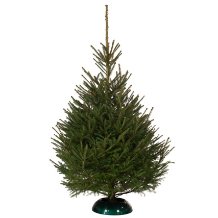 Norway Spruce Real Christmas Tree 175-200cm