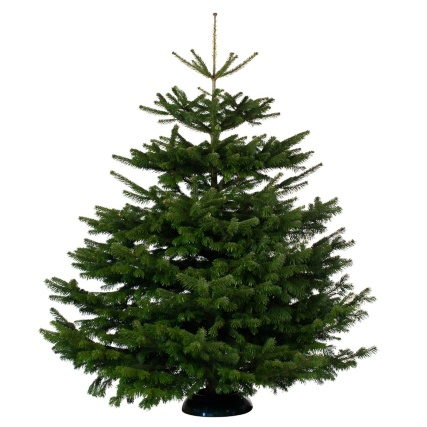 Nordman Fir Real Christmas Tree 200-250cm