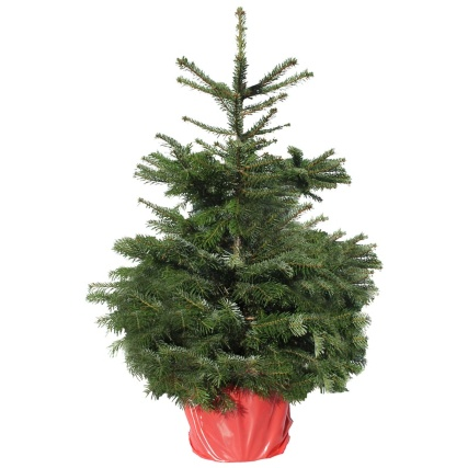 Potted Nordman Fir Real Christmas Tree 90-120cm