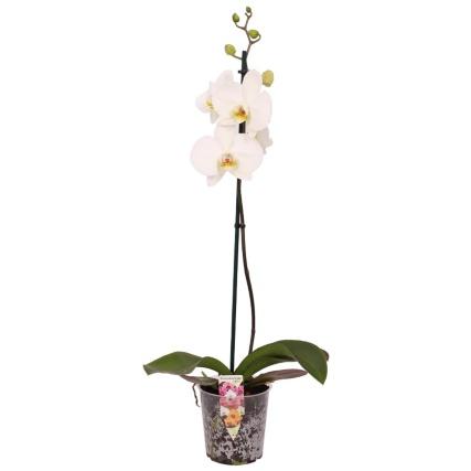 351504-orchid-white.jpg