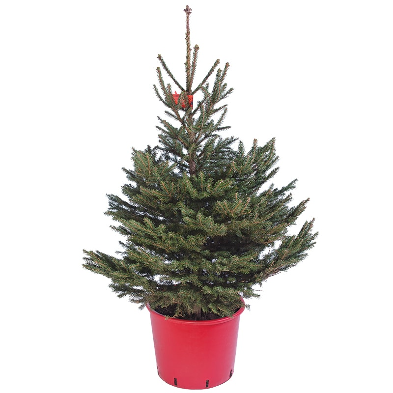 Potted Norway Spruce Real Christmas Tree | Christmas - B&M
