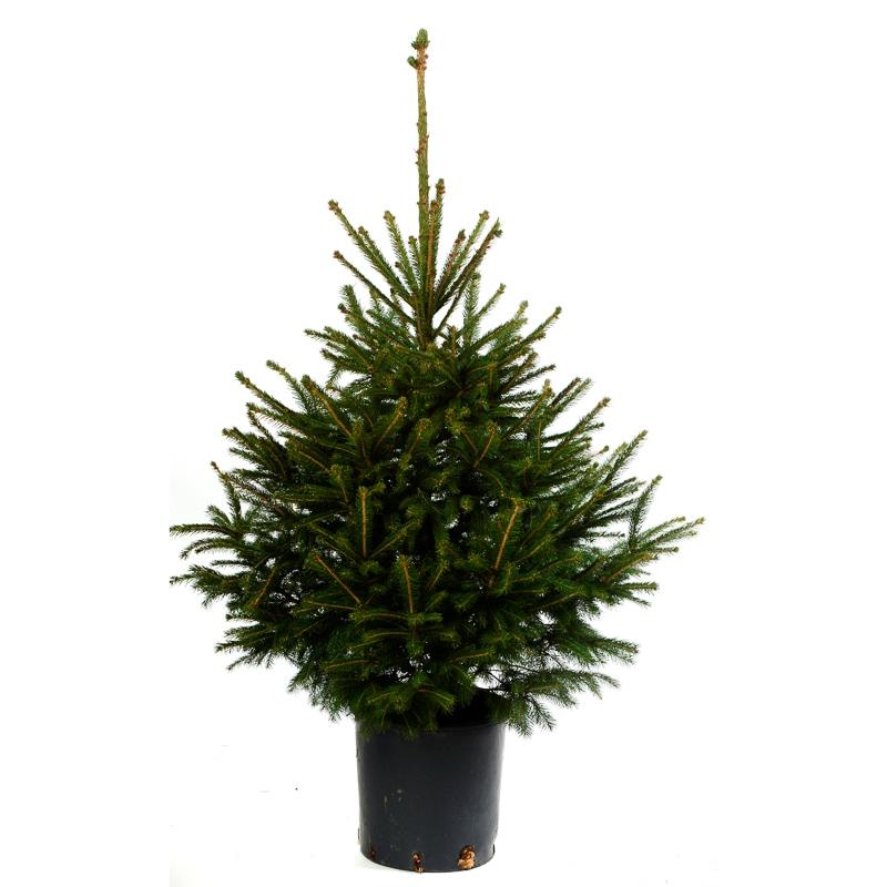 Pot Grown Norway Spruce Real Christmas Tree   Christmas - B&M