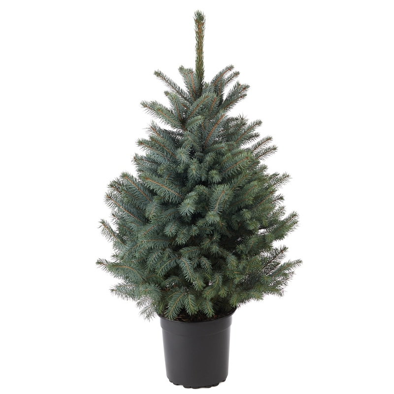pot grown blue spruce real christmas tree 80 100cm - Small Real Christmas Trees