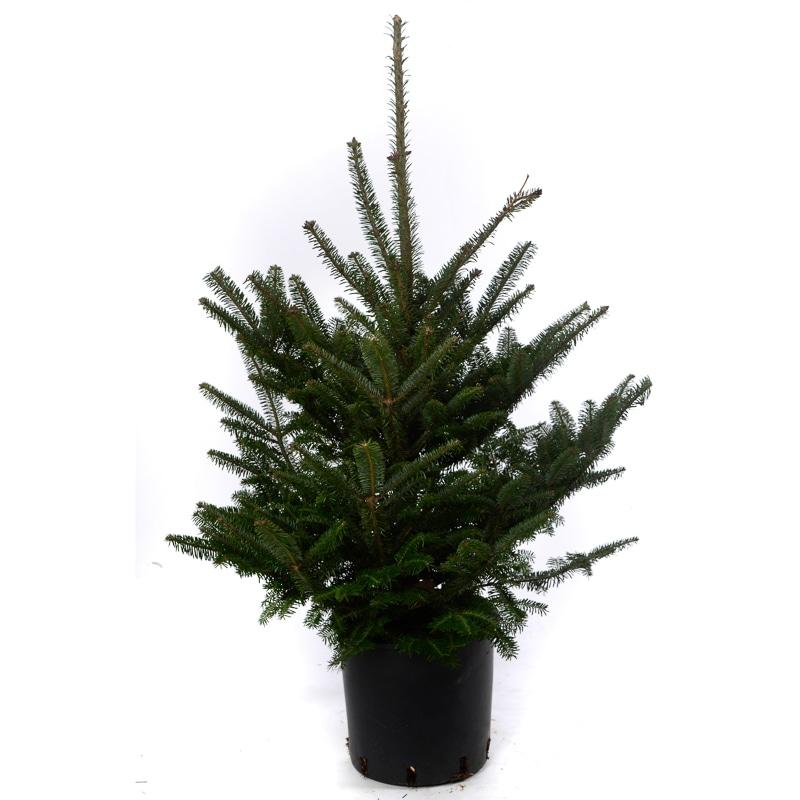 pot grown fraser fir real christmas tree 80 100cm - Small Real Christmas Trees