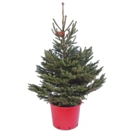 Potted Norway Spruce Real Christmas Tree 90-120cm