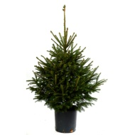 Pot Grown Norway Spruce Real Christmas Tree 100-120cm