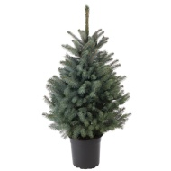 Pot Grown Blue Spruce Real Christmas Tree 100-120cm