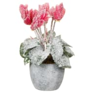 Frosted Cyclamen in Pot - Pink