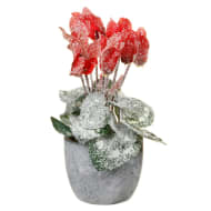Frosted Cyclamen in Pot - Red
