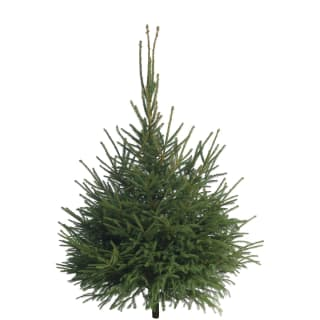 Norway Spruce Real Christmas Tree 180-210cm