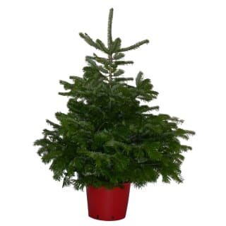 Pot Grown Nordman Fir Real Christmas Tree 100-125cm