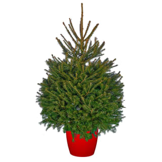Pot Grown Norway Spruce Real Christmas Tree 100-125cm