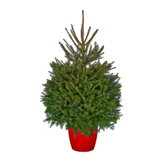Pot Grown Norway Spruce Real Christmas Tree 90-125cm