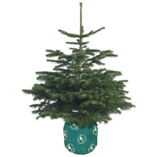 Pot Grown Nordman Fir Real Christmas Tree 90-120cm