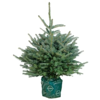 Pot Grown Blue Spruce Real Christmas Tree 90-120cm